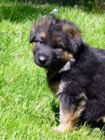 Altdeutsche Schäferhund Welpen zu verkaufen