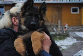 Altdeutsche Sch�ferhundwelpen