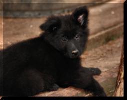 Foto 5 Altdeutsche Sch�ferhundwelpen in liebevolle H�nde abzugeben