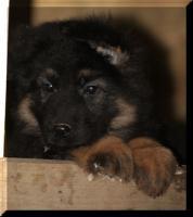 Foto 6 Altdeutsche Sch�ferhundwelpen in liebevolle H�nde abzugeben