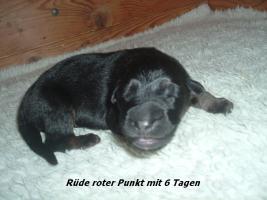 Foto 5 Altdeutscher (Langstockhaar) Schäferhundwelpen m.P.