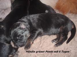 Foto 7 Altdeutscher (Langstockhaar) Schäferhundwelpen m.P.