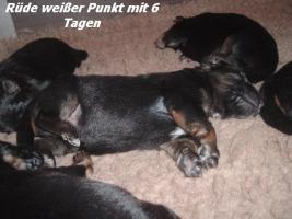 Foto 8 Altdeutscher (Langstockhaar) Schäferhundwelpen m.P.