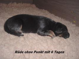 Foto 9 Altdeutscher (Langstockhaar) Schäferhundwelpen m.P.