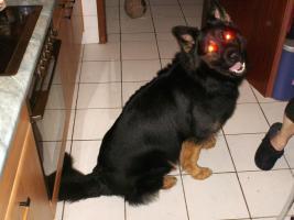 Foto 4 Altdeutscher Schäferhund Rüde abzugeben