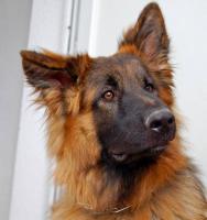 Altdeutscher langhaarschäferhund