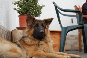 Foto 2 Altdeutscher langhaarschäferhund