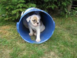 Foto 2 American Bulldog