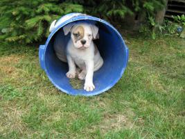 Foto 3 American Bulldog