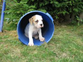 Foto 4 American Bulldog