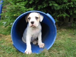 Foto 5 American Bulldog