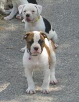 American Bulldog Bully Welpen!