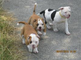 Foto 2 American Bulldog Bully Welpen!
