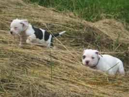 Foto 3 American Bulldog Bully Welpen!