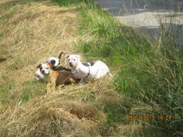 Foto 4 American Bulldog Bully Welpen!