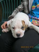 Foto 5 American Bulldog Bully Welpen!
