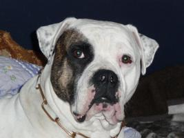 American Bulldog Deckrüde ausgewertet und gesund