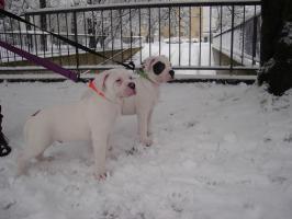 Foto 2 American Bulldog Rassehunde Welpen, sofort abzugeben