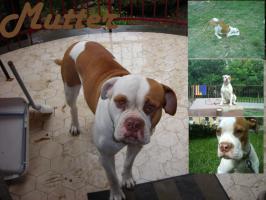 Foto 5 American Bulldog Rassehunde Welpen, sofort abzugeben