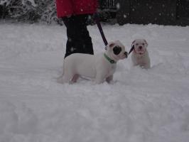 Foto 7 American Bulldog Rassehunde Welpen, sofort abzugeben