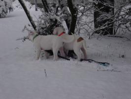 Foto 8 American Bulldog Rassehunde Welpen, sofort abzugeben