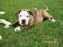 American Bulldog Welpe o.P.
