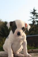 Foto 4 American Bulldog Welpen