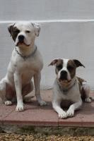 Foto 6 American Bulldog Welpen