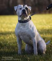 Foto 2 American Bulldog Welpen