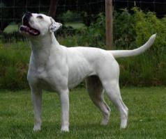 Foto 5 American Bulldog Welpen