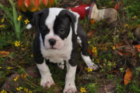 American Bulldog Welpen