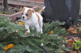 Foto 3 American Bulldog Welpen