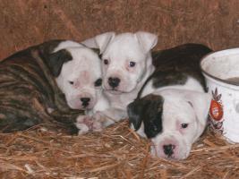 Foto 2 American Bulldog Welpen Bully Typ!