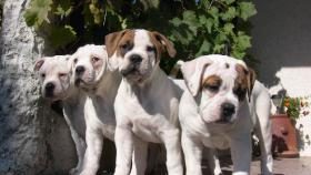 American Bulldog Welpen aus Hobbyzucht