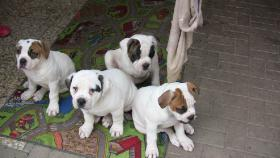 Foto 3 American Bulldog Welpen aus Hobbyzucht