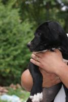 Foto 3 American Bulldog Welpen suchen ein zuhause!