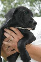 Foto 4 American Bulldog Welpen suchen ein zuhause!