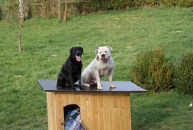 Foto 5 American Bulldog Welpen suchen ein zuhause!