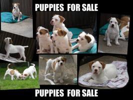 American Bulldog Welpen zu verkaufen