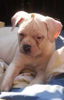 Foto 7 American Bulldog Welpen zu verkaufen