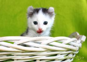 Foto 2 American Curl Kitten m.P.