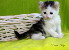 Foto 3 American Curl Kitten m.P.