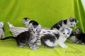 Foto 4 American Curl Kitten m.P.