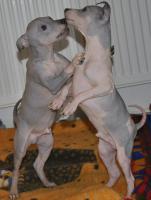 Foto 2 American Hairless Terrier Welpen