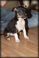 Foto 2 American Hairless Terrier / Rat Terrier