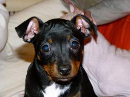 Foto 3 American Hairless Terrier / Rat Terrier
