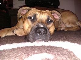 Foto 3 American Stafford Terrier Welpen