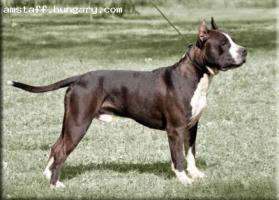 Foto 2 American Staffordshire Terrier