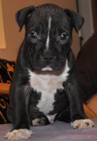Foto 8 American Staffordshire Terrier