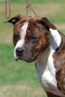 Foto 4 American Staffordshire Terrier